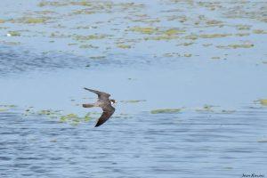 El halcón de los pantalones rojos – El alcotán