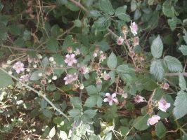 La zarza (Rubus ulmifolius)